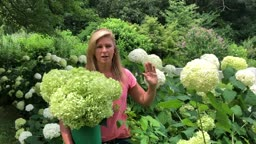 Tips on Pruning Hydrangea #KellyLehman @Cranbury