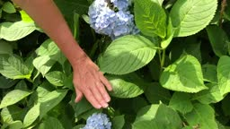 Get Hydrangea to Bloom #KellyLehman @Cranbury