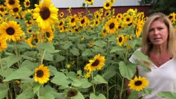 How to Plant, Grow and Harvest Sunflowers in Your Garden
