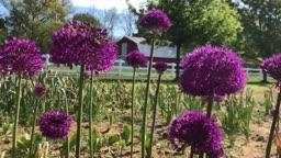 Easy-To-Grow Alliums! | Cranbury Fields Flower Farm