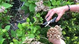 Why You Should Deadhead Hydrangeas! | Cranbury Fields Flower Farm